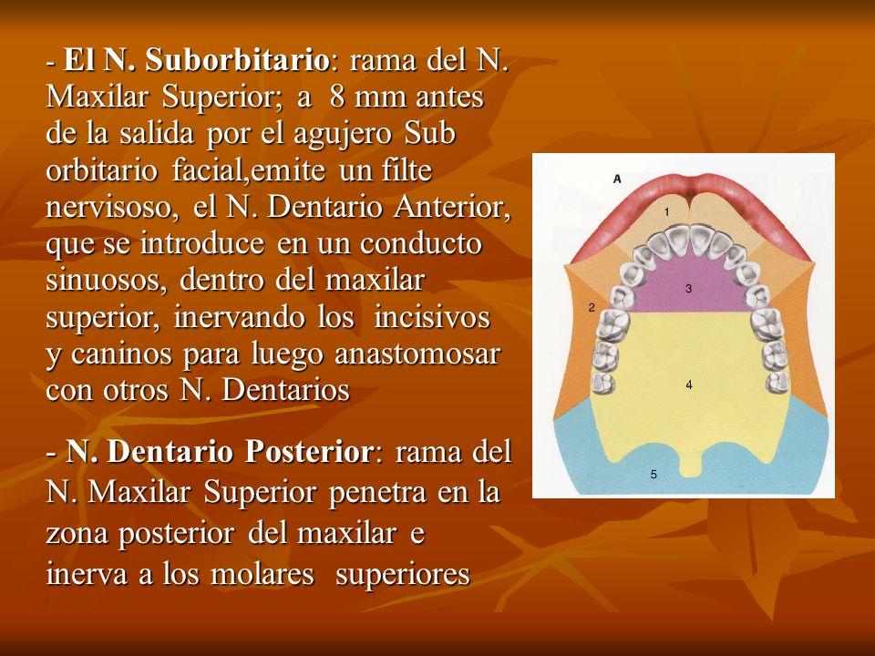 - El N. Suborbitario: rama del N