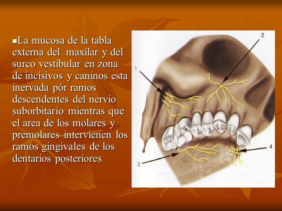 La mucosa de la tabla externa del maxilar y del surco vestibular en zona de incisivos y caninos esta inervada pór ramos descendentes del nervio suborbitario mientras que el area de los molares y premolares intervienen los ramos gingivales de los dentarios posteriores