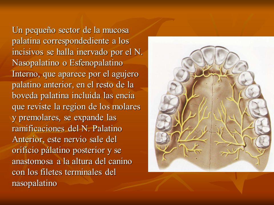 Un pequeño sector de la mucosa palatina correspondediente a los incisivos se halla inervado por el N.