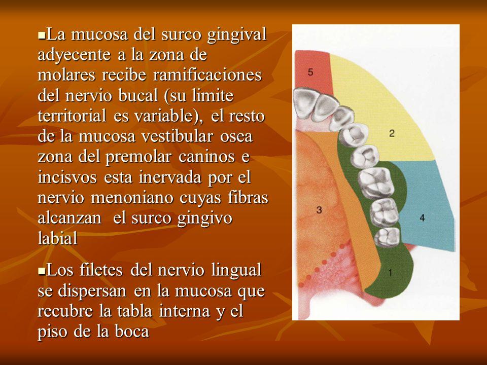 La mucosa del surco gingival adyecente a la zona de molares recibe ramificaciones del nervio bucal (su limite territorial es variable), el resto de la mucosa vestibular osea zona del premolar caninos e incisvos esta inervada por el nervio menoniano cuyas fibras alcanzan el surco gingivo labial