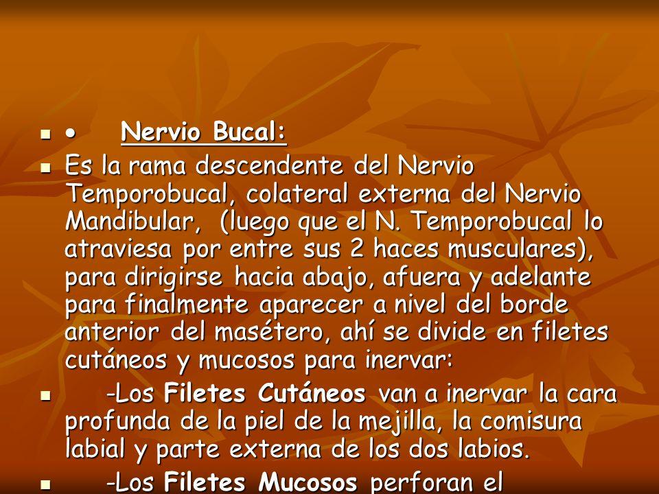 · Nervio Bucal: