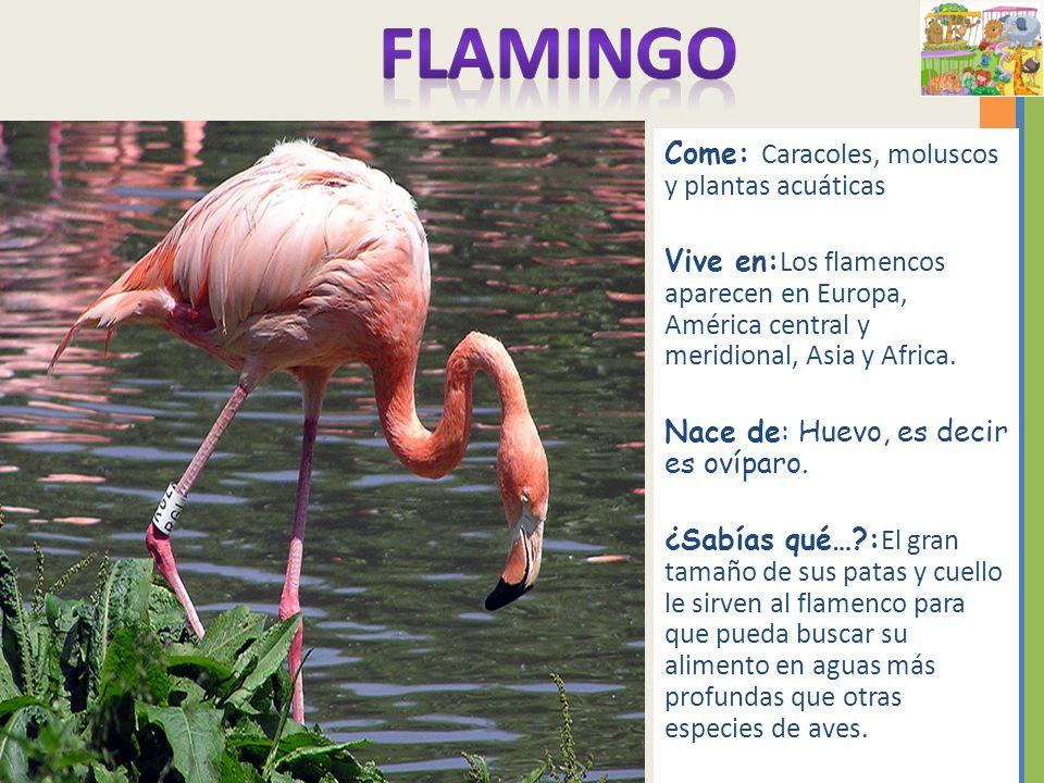 Q Comen Los Flamingos ¿Cómo podemo...