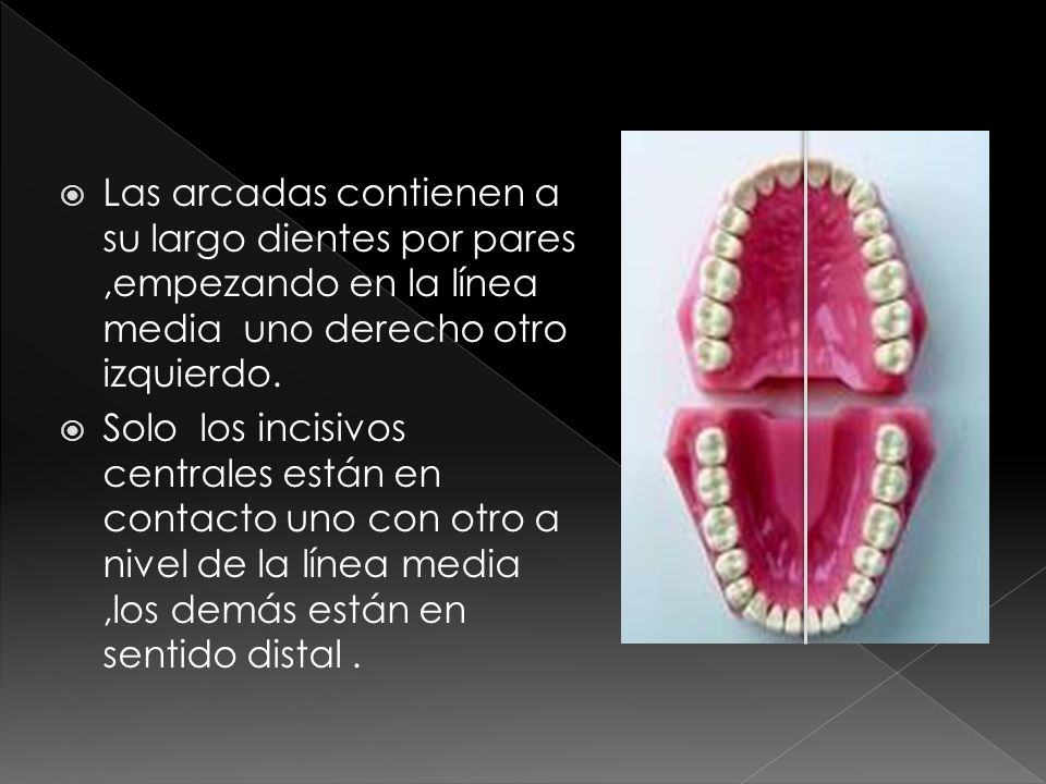 Las arcadas contienen a su largo dientes por pares ,empezando en la línea media uno derecho otro izquierdo.