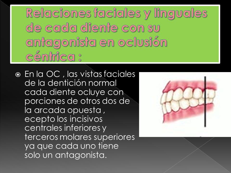 Relaciones faciales y linguales de cada diente con su antagonista en oclusión céntrica :