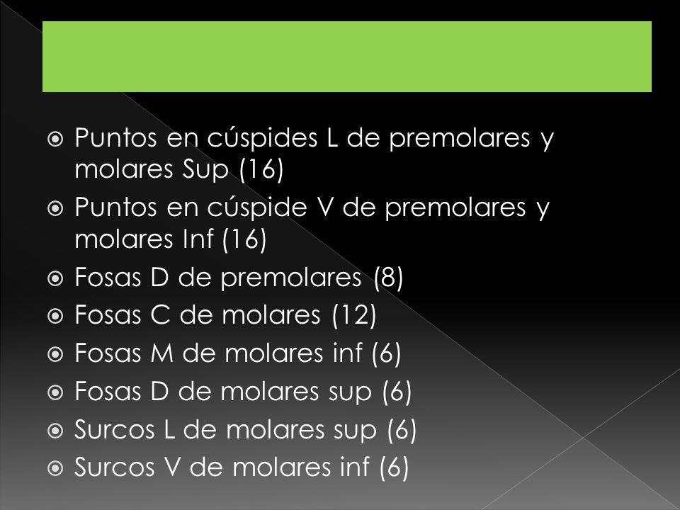 Puntos en cúspides L de premolares y molares Sup (16)