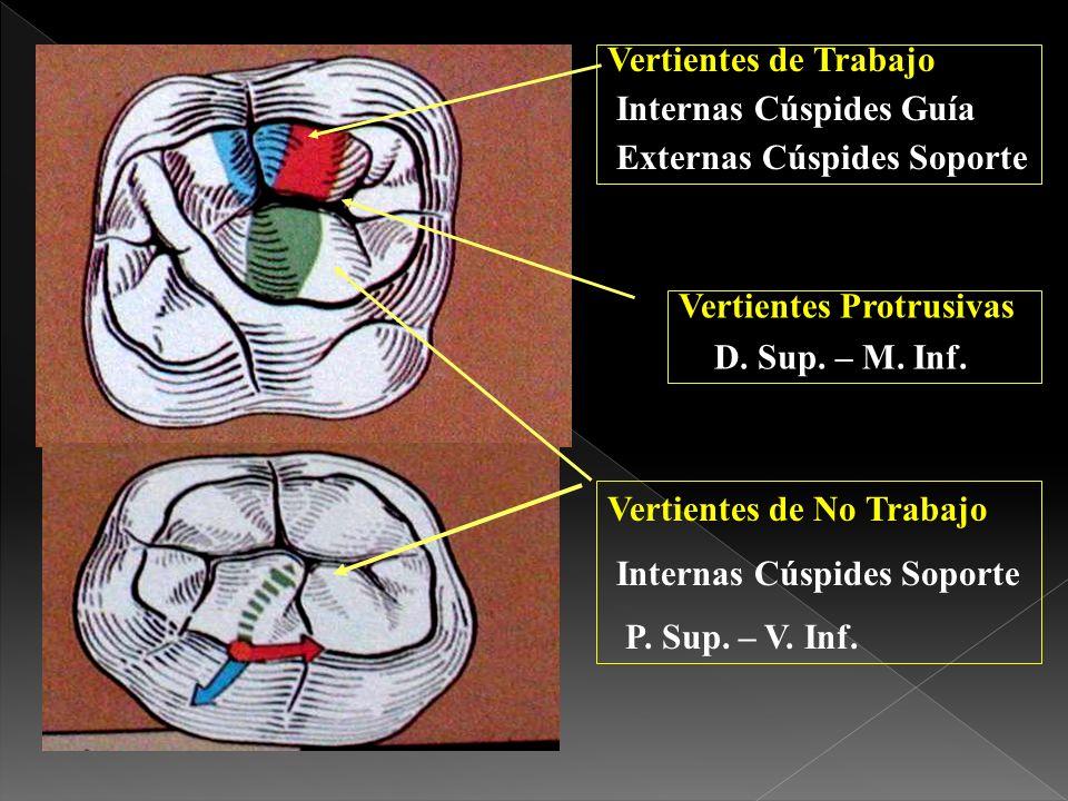 Vertientes de TrabajoInternas Cúspides Guía. Externas Cúspides Soporte. Vertientes Protrusivas. D. Sup. – M. Inf.