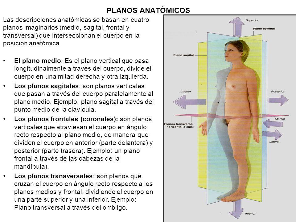 PLANOS ANATÓMICOS Las descripciones anatómicas se basan en cuatro