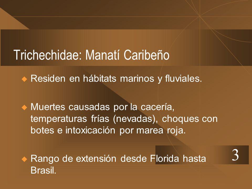 Trichechidae: Manatí Caribeño