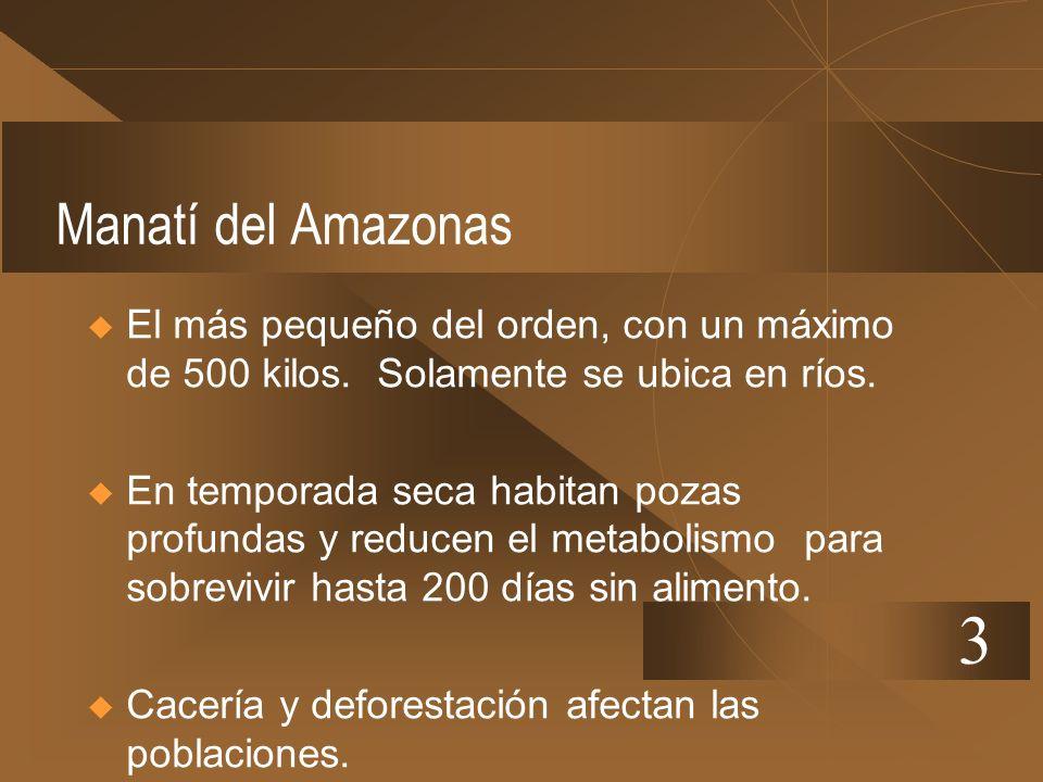 Manatí del AmazonasEl más pequeño del orden, con un máximo de 500 kilos. Solamente se ubica en ríos.