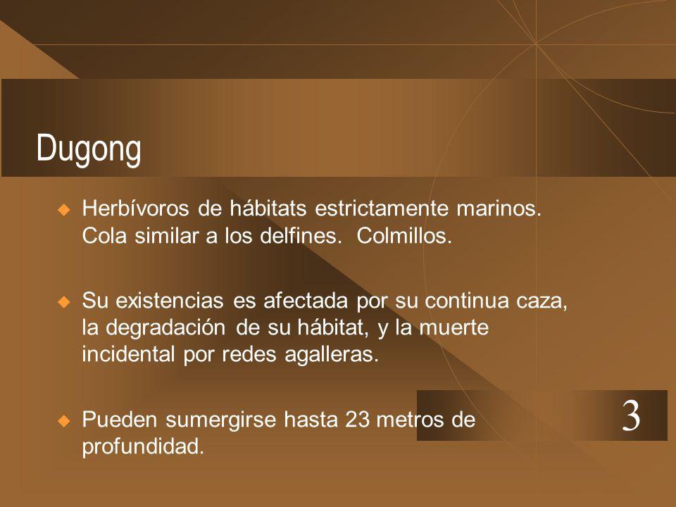 Dugong Herbívoros de hábitats estrictamente marinos. Cola similar a los delfines. Colmillos.