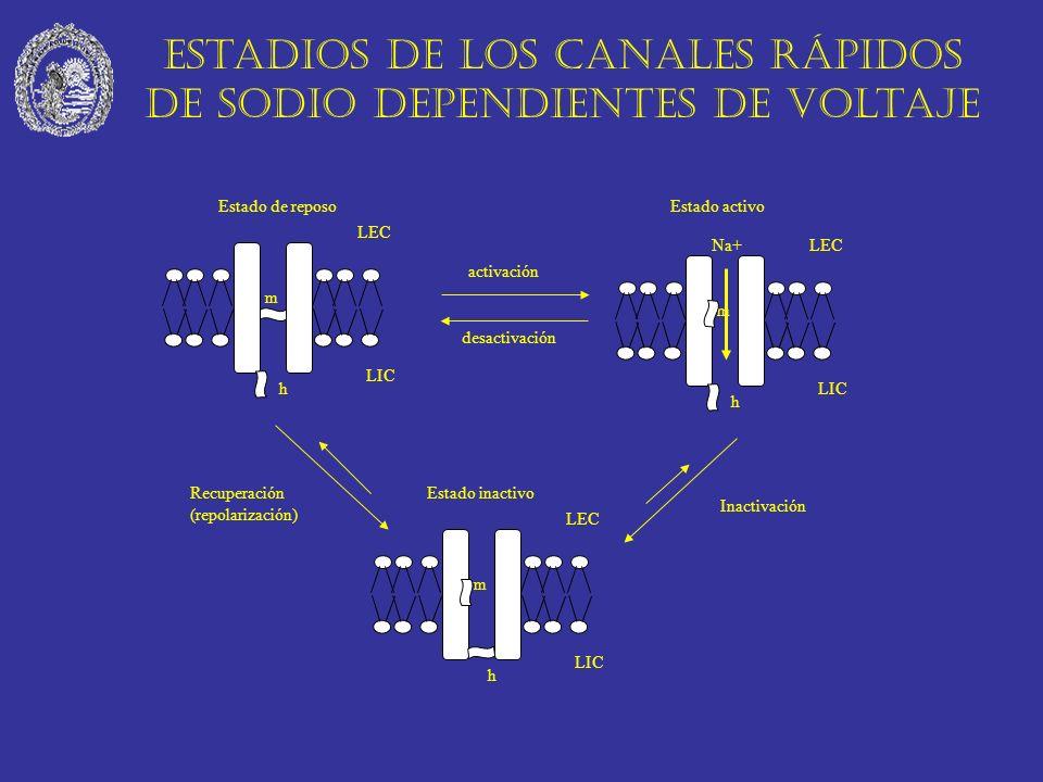 Estadios de los canales rápidos de sodio dependientes de voltaje