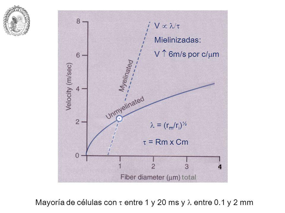 Mayoría de células con  entre 1 y 20 ms y  entre 0.1 y 2 mm