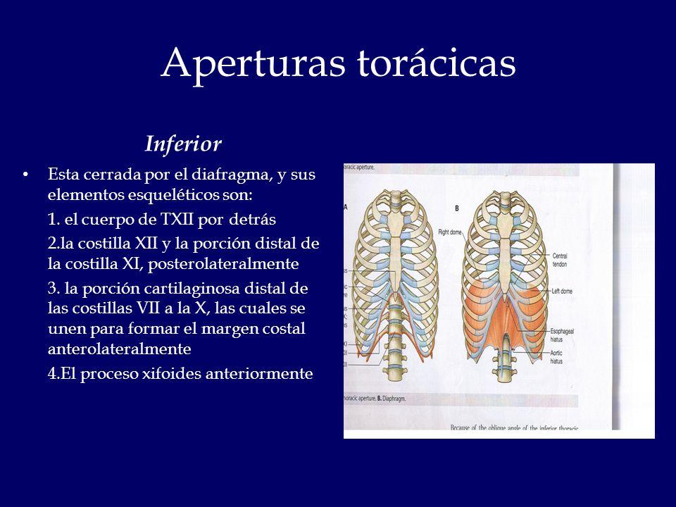 Lujo Imagen De Proceso Xifoides Foto - Imágenes de Anatomía Humana ...