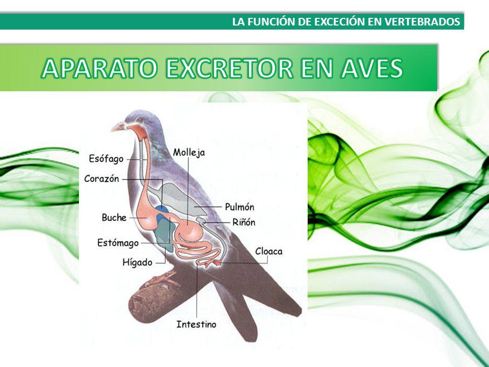 Vistoso Hembra Diagrama Del Sistema Excretor Ideas - Anatomía de Las ...