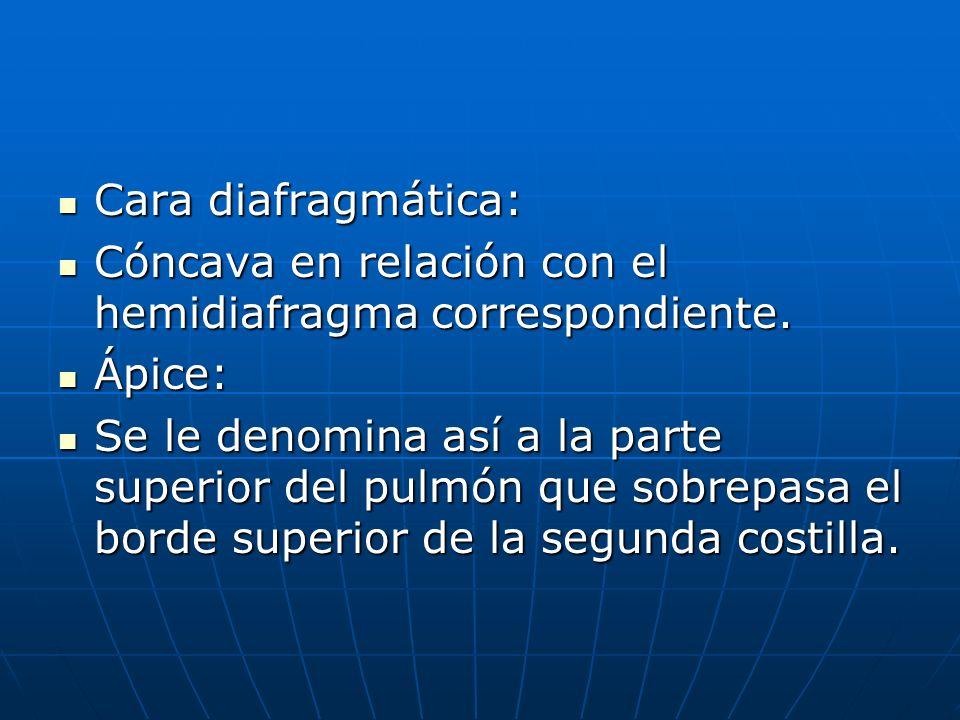 Cara diafragmática: Cóncava en relación con el hemidiafragma correspondiente. Ápice: