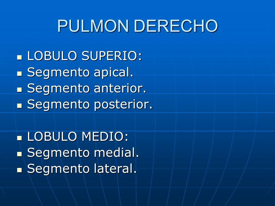 PULMON DERECHO LOBULO SUPERIO: Segmento apical. Segmento anterior.