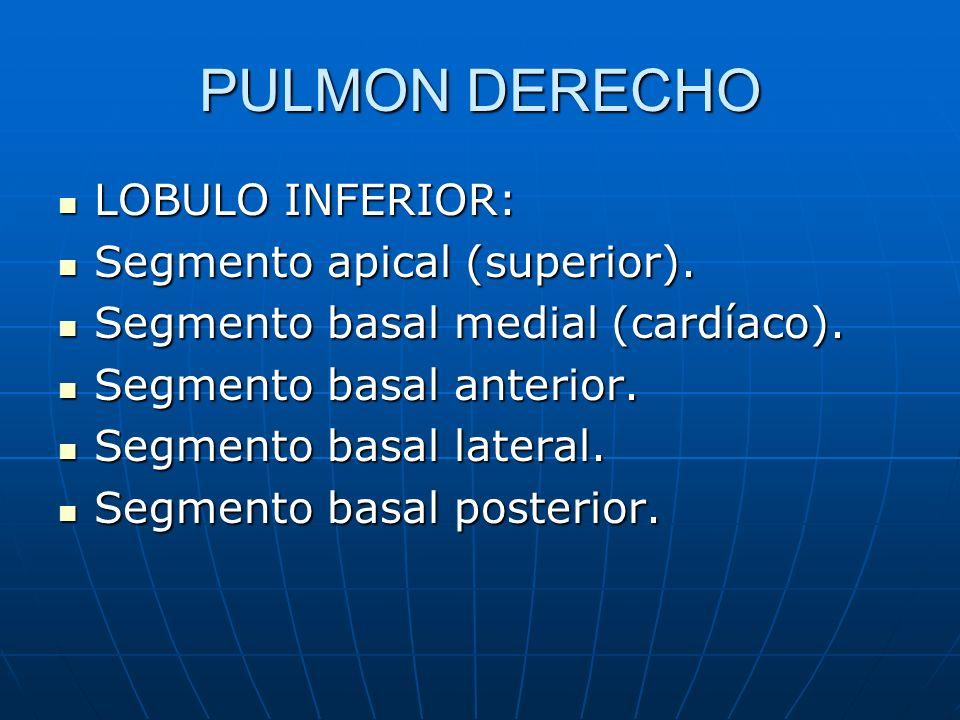 PULMON DERECHO LOBULO INFERIOR: Segmento apical (superior).