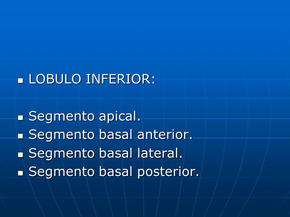 LOBULO INFERIOR: Segmento apical. Segmento basal anterior.