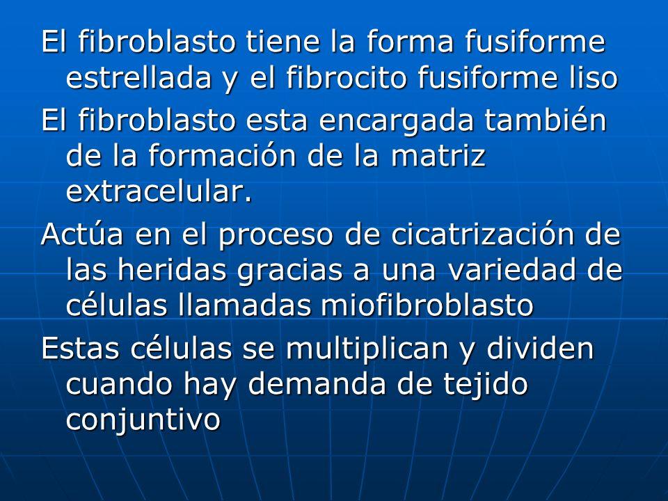 El fibroblasto tiene la forma fusiforme estrellada y el fibrocito fusiforme liso