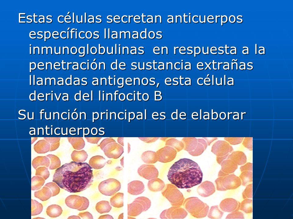 Estas células secretan anticuerpos específicos llamados inmunoglobulinas en respuesta a la penetración de sustancia extrañas llamadas antigenos, esta célula deriva del linfocito B