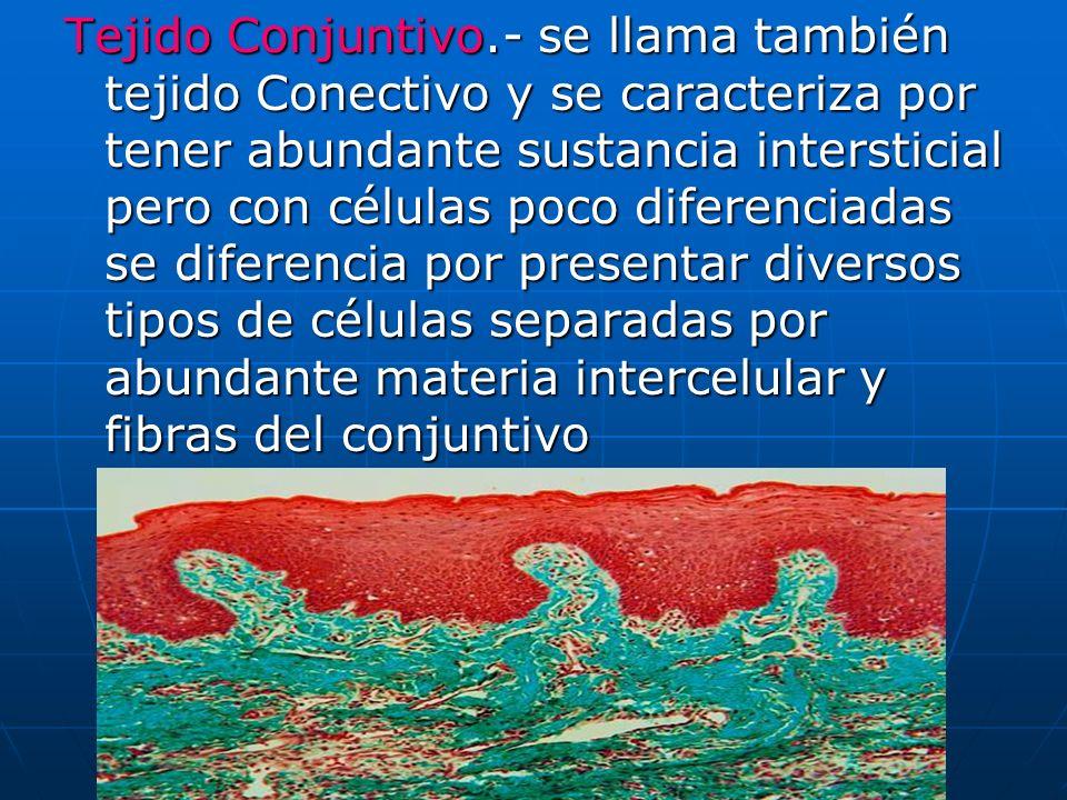 Tejido Conjuntivo.- se llama también tejido Conectivo y se caracteriza por tener abundante sustancia intersticial pero con células poco diferenciadas se diferencia por presentar diversos tipos de células separadas por abundante materia intercelular y fibras del conjuntivo