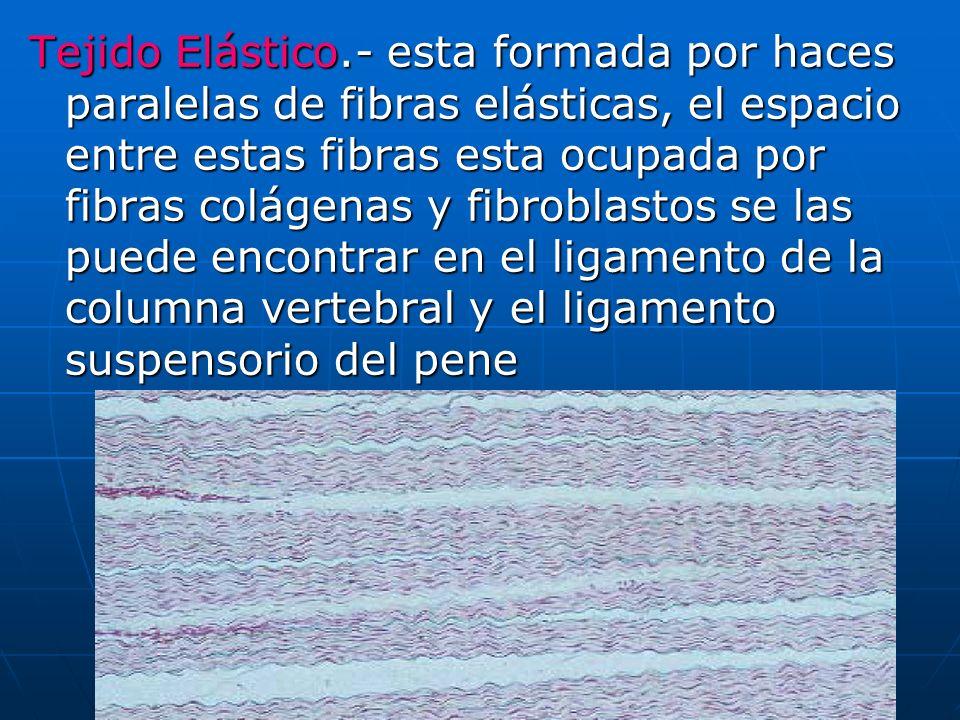 Tejido Elástico.- esta formada por haces paralelas de fibras elásticas, el espacio entre estas fibras esta ocupada por fibras colágenas y fibroblastos se las puede encontrar en el ligamento de la columna vertebral y el ligamento suspensorio del pene