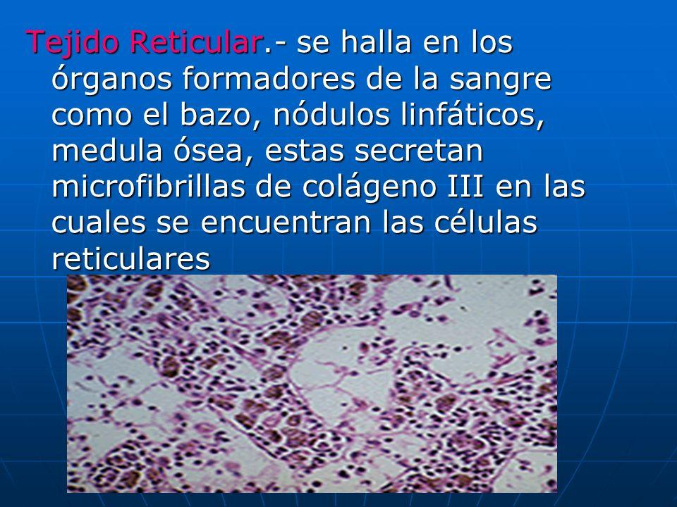 Tejido Reticular.- se halla en los órganos formadores de la sangre como el bazo, nódulos linfáticos, medula ósea, estas secretan microfibrillas de colágeno III en las cuales se encuentran las células reticulares