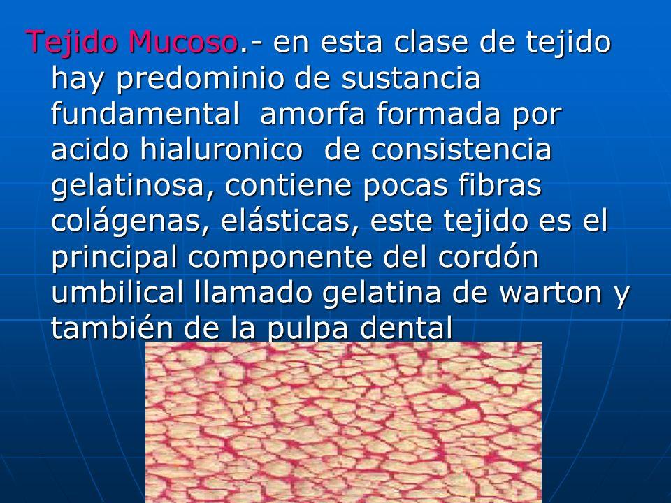 Tejido Mucoso.- en esta clase de tejido hay predominio de sustancia fundamental amorfa formada por acido hialuronico de consistencia gelatinosa, contiene pocas fibras colágenas, elásticas, este tejido es el principal componente del cordón umbilical llamado gelatina de warton y también de la pulpa dental