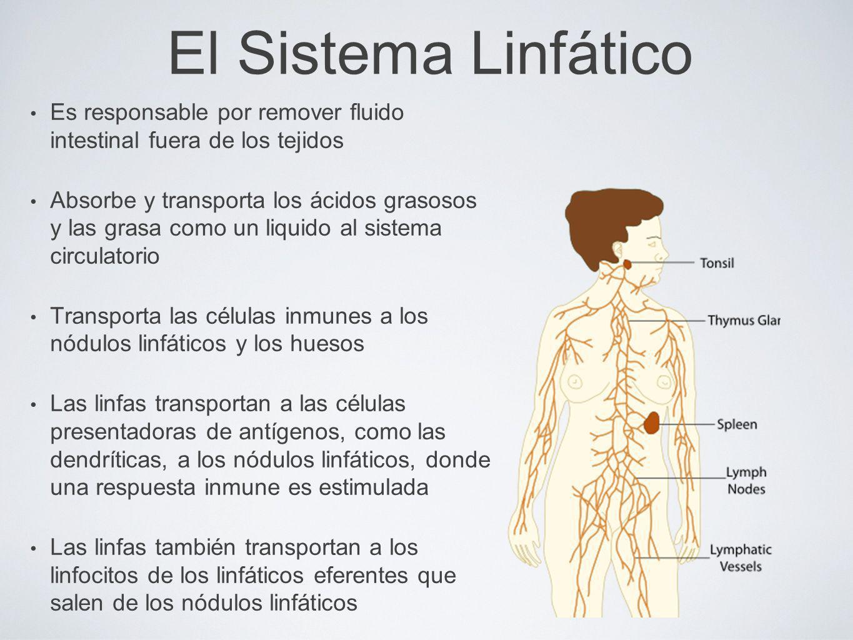 El Sistema LinfáticoEs responsable por remover fluido intestinal fuera de los tejidos.