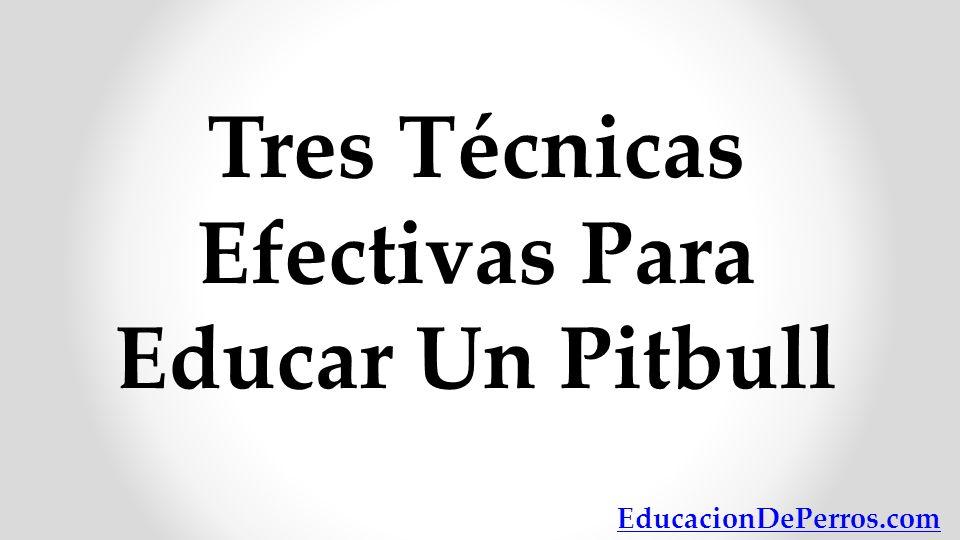 Tres Técnicas Efectivas Para Educar Un Pitbull