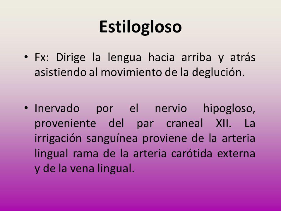 Estilogloso Fx: Dirige la lengua hacia arriba y atrás asistiendo al movimiento de la deglución.