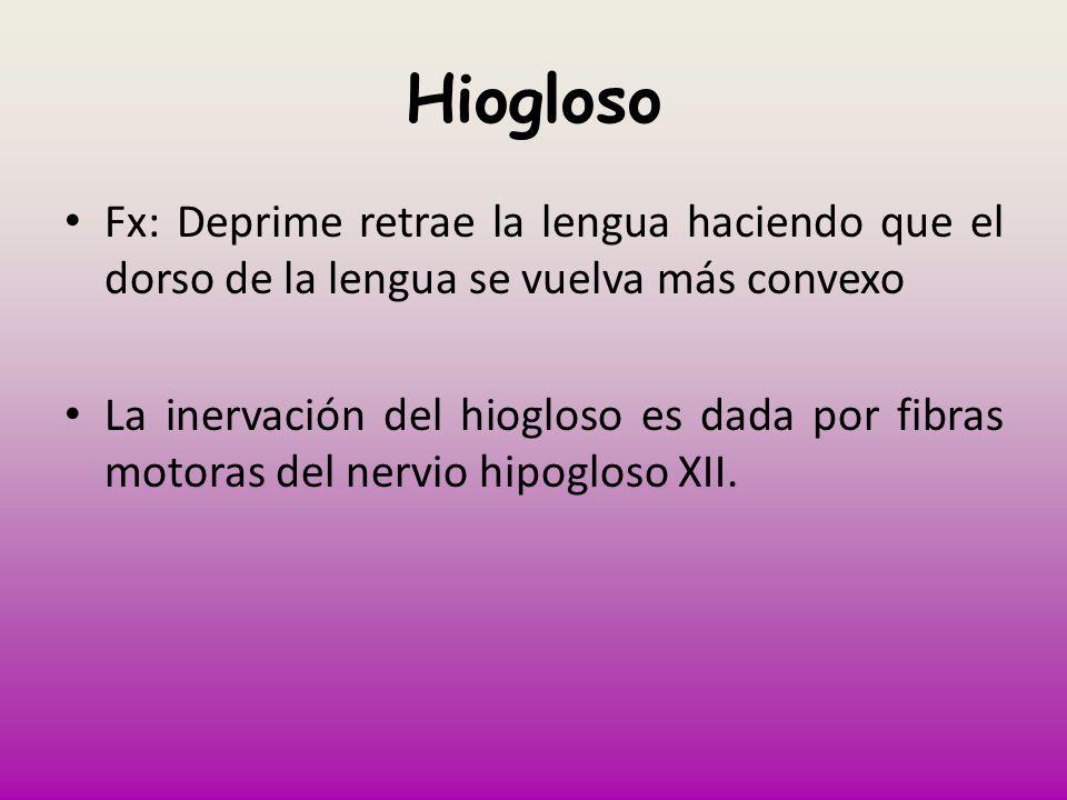 HioglosoFx: Deprime retrae la lengua haciendo que el dorso de la lengua se vuelva más convexo.