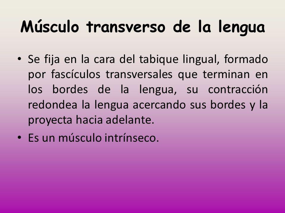 Músculo transverso de la lengua