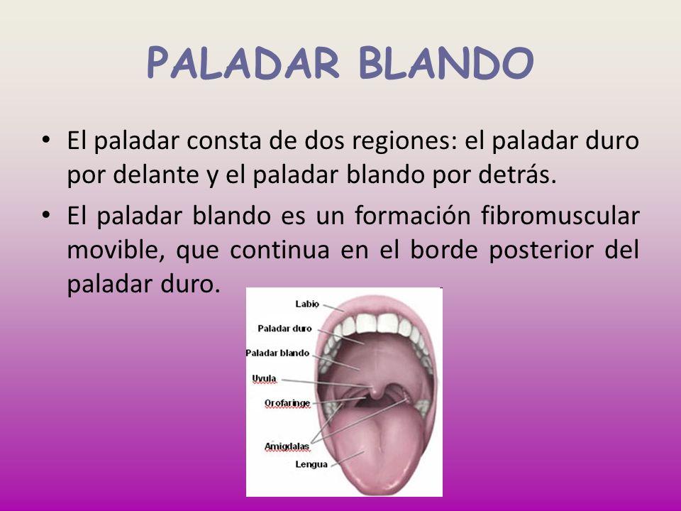 PALADAR BLANDOEl paladar consta de dos regiones: el paladar duro por delante y el paladar blando por detrás.