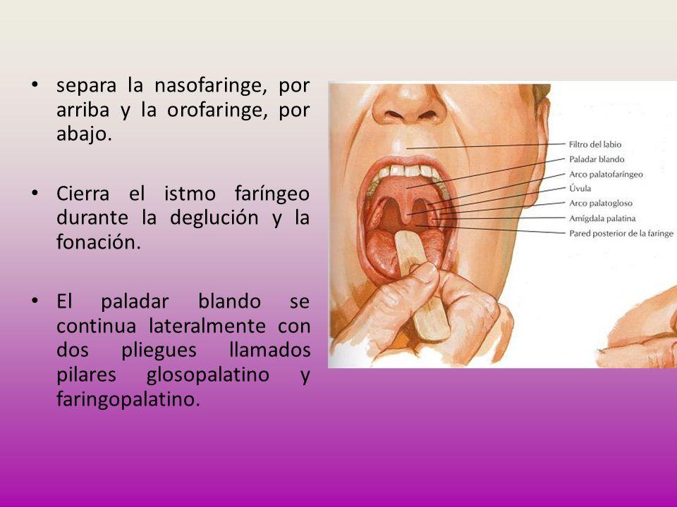 separa la nasofaringe, por arriba y la orofaringe, por abajo.