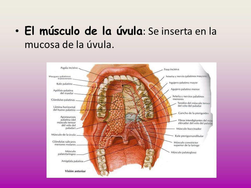 El músculo de la úvula: Se inserta en la mucosa de la úvula.