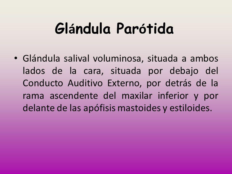 Glándula Parótida