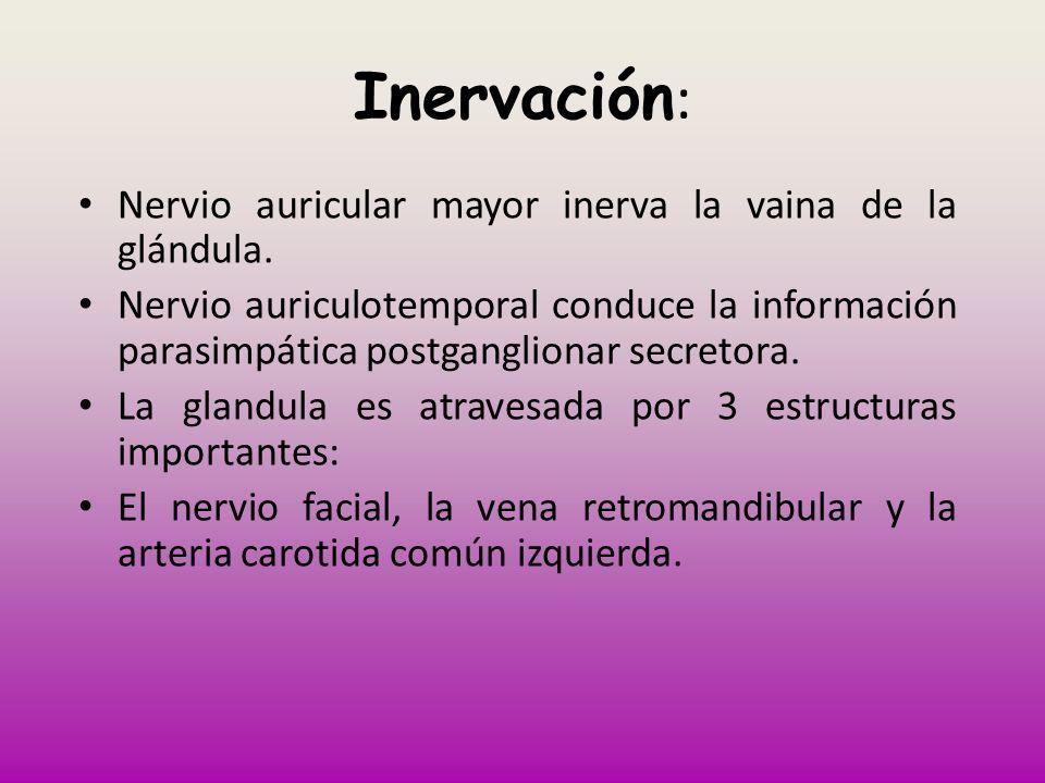 Inervación: Nervio auricular mayor inerva la vaina de la glándula.