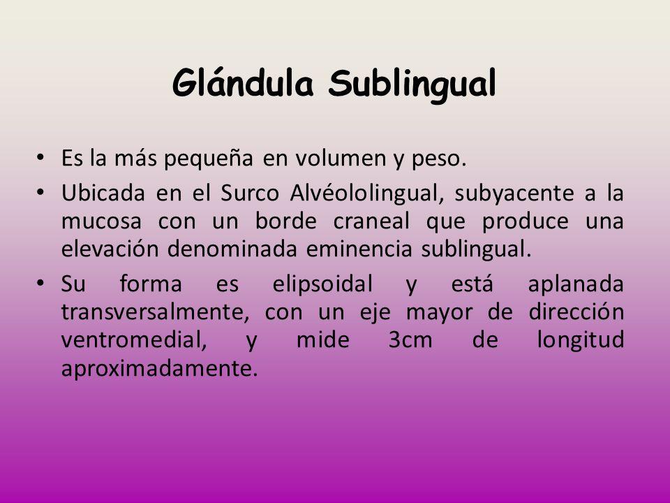 Glándula Sublingual Es la más pequeña en volumen y peso.