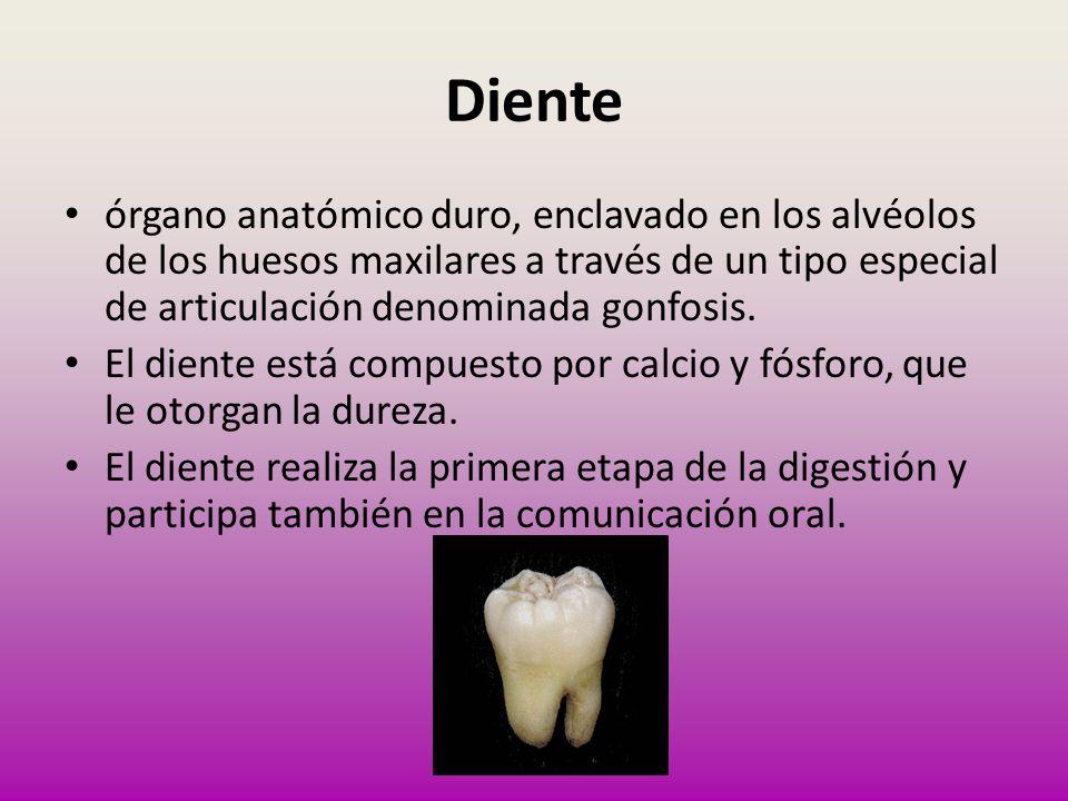 Diente órgano anatómico duro, enclavado en los alvéolos de los huesos maxilares a través de un tipo especial de articulación denominada gonfosis.