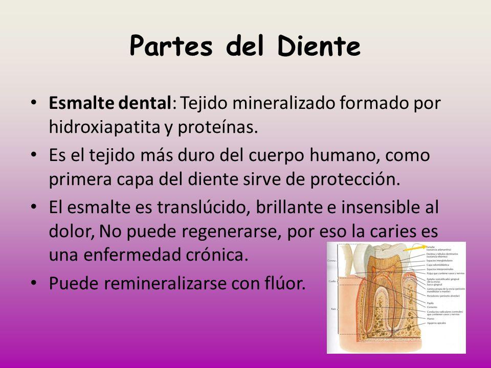 Partes del DienteEsmalte dental: Tejido mineralizado formado por hidroxiapatita y proteínas.