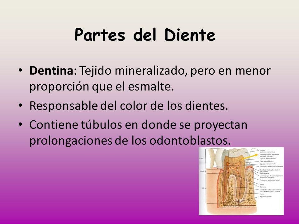 Partes del DienteDentina: Tejido mineralizado, pero en menor proporción que el esmalte. Responsable del color de los dientes.