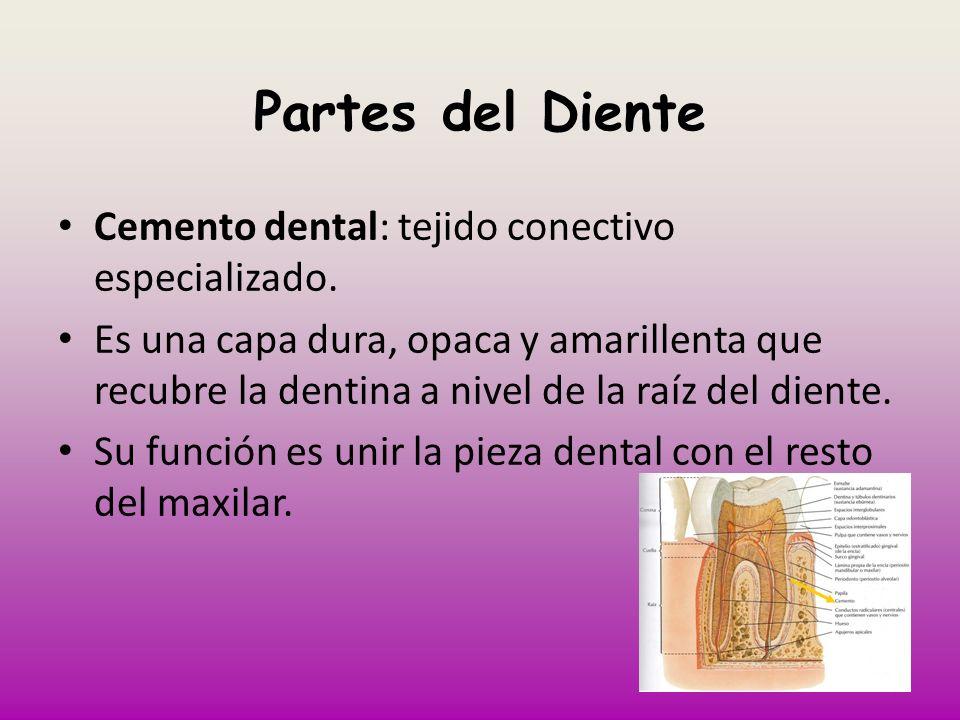 Partes del Diente Cemento dental: tejido conectivo especializado.