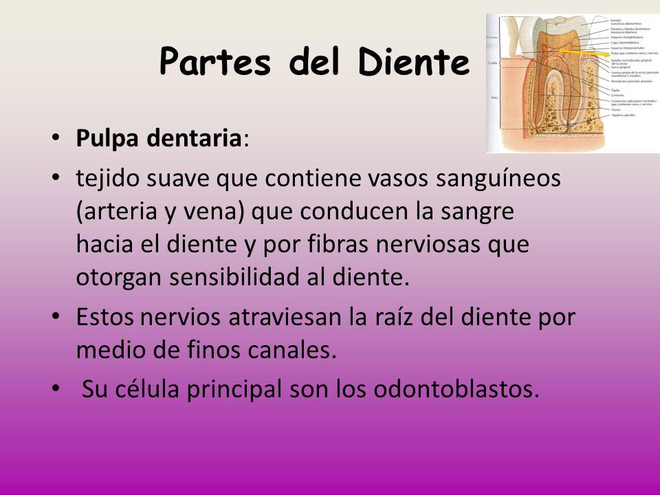 Partes del Diente Pulpa dentaria: