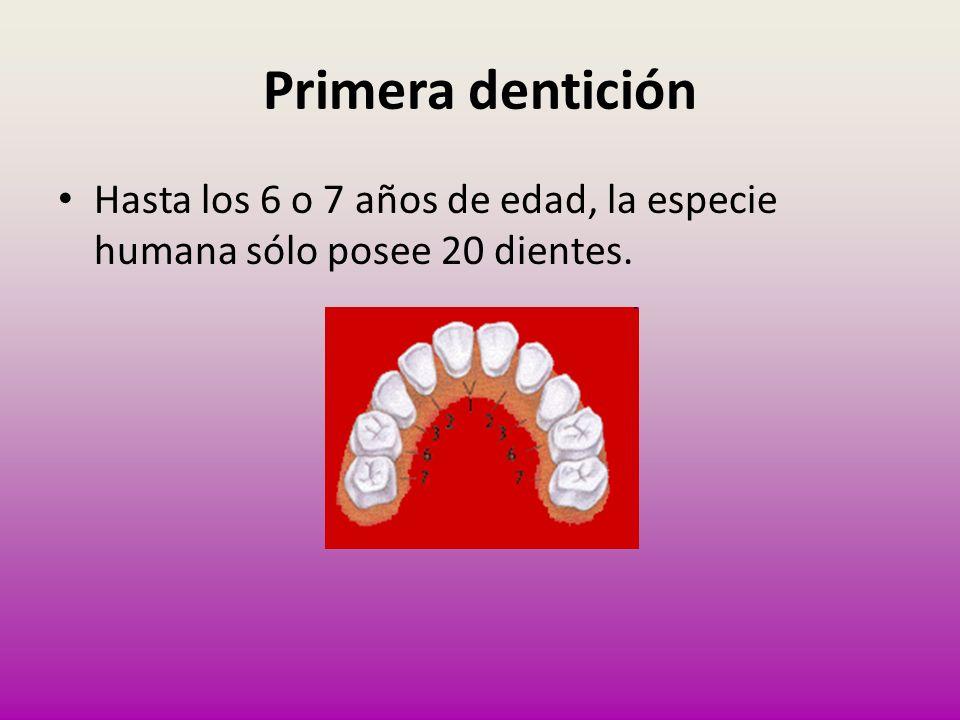 Primera dentición Hasta los 6 o 7 años de edad, la especie humana sólo posee 20 dientes.