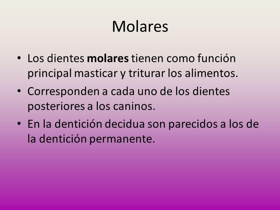 MolaresLos dientes molares tienen como función principal masticar y triturar los alimentos.