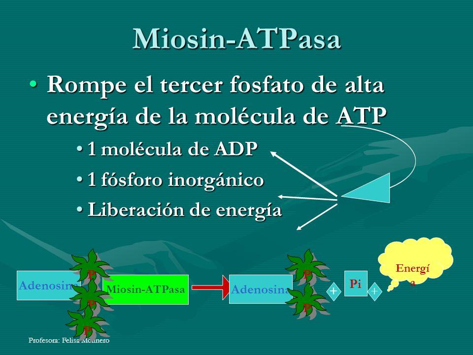 Miosin-ATPasa Rompe el tercer fosfato de alta energía de la molécula de ATP. 1 molécula de ADP. 1 fósforo inorgánico.