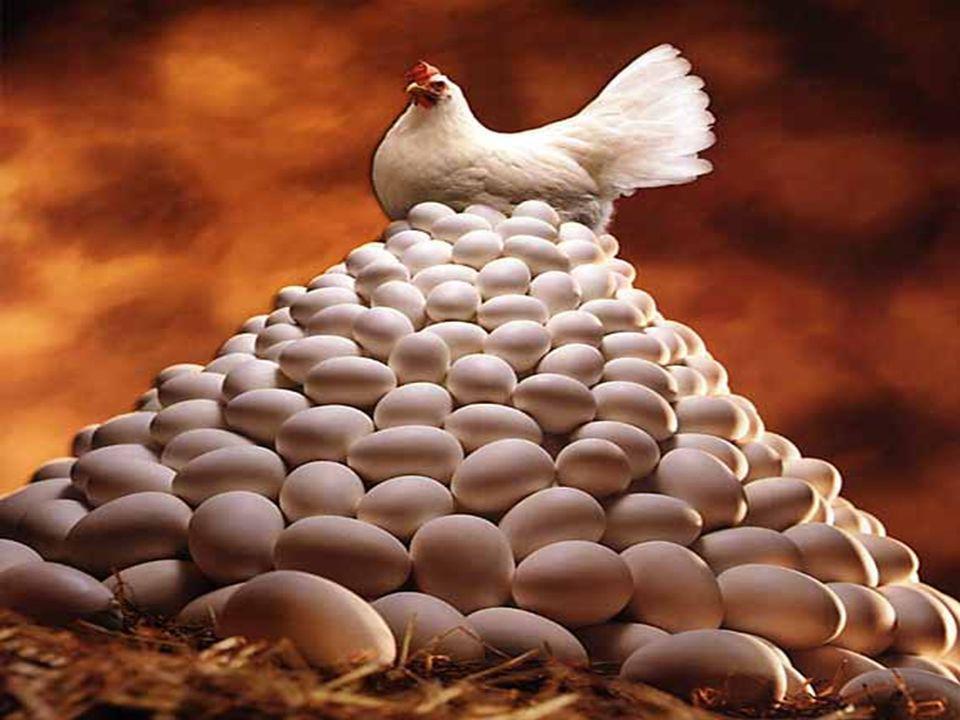 La ponedora moderna ha sufrido muchos cambios en los últimos 20 años, actualmente son unas maquinas de poner huevos pero requieren mas cuidados, entonces los programas de manejo y nutricionales tienen que ser diseñados acorde a estos cambios para obtener el máximo rendimiento productivo.