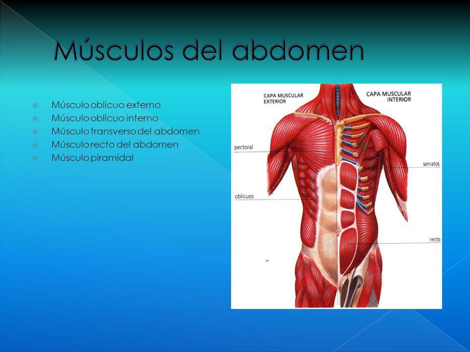 Excepcional Anatomía Músculo Oblicuo Bosquejo - Anatomía de Las ...