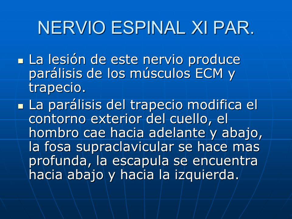 NERVIO ESPINAL XI PAR.La lesión de este nervio produce parálisis de los músculos ECM y trapecio.